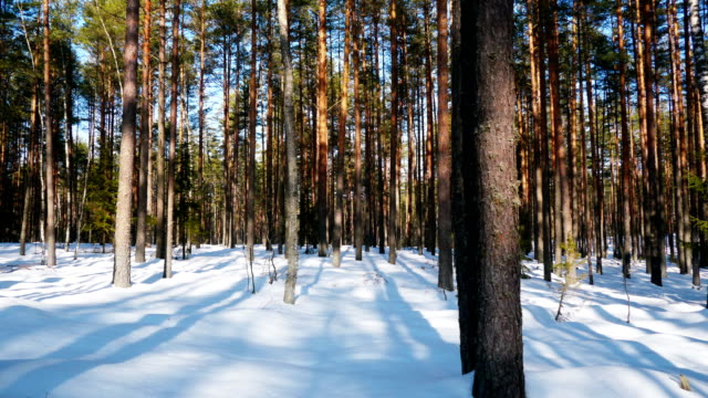 Sunny day in winter forest video