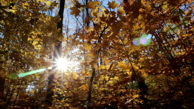 Sunny fall forest. Low angle. video