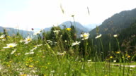 Sunny mountain landscape in the Bavarian Alps with beautiful flowers in foreground video