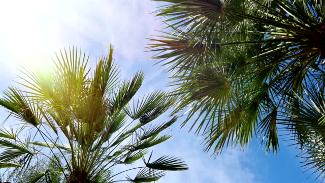 Sunny palm tree against blue sky. Palm tree in gentle tropical breeze video