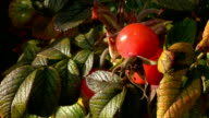 Sunny rosehip video