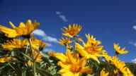 sunny spring blue sky breezy day, yellow daisies video