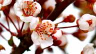 Sunny Spring Morning in Cherry Garden video