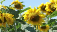 Sunny Sunflowers video