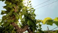 Sunny Vineyard video
