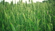 Sunny wheat field - multiple versions video