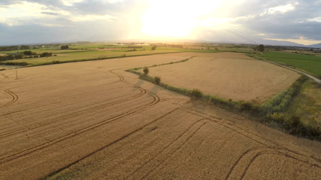 Sunny wheat field video