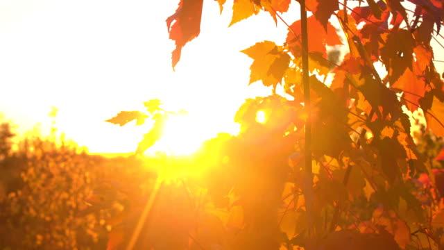 CLOSE UP Sunrays penetrating autumn foliage on maple tree at golden light sunset video