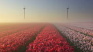 Tulip fields on a foggy morning video