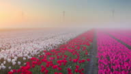 Sunrise and fog over rows of blooming tulips, The Netherlands video