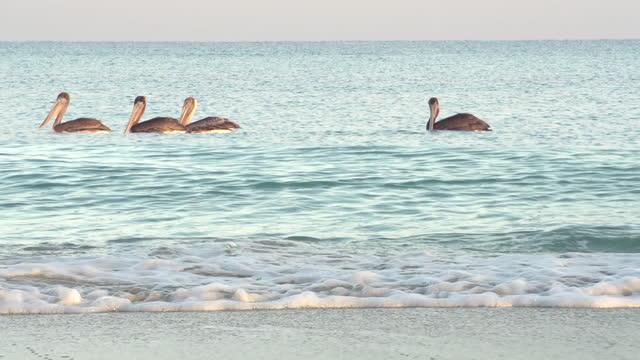 Sunrise Beach Pelicans video