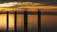 Sunrise Herons on Pilings, Vancouver video
