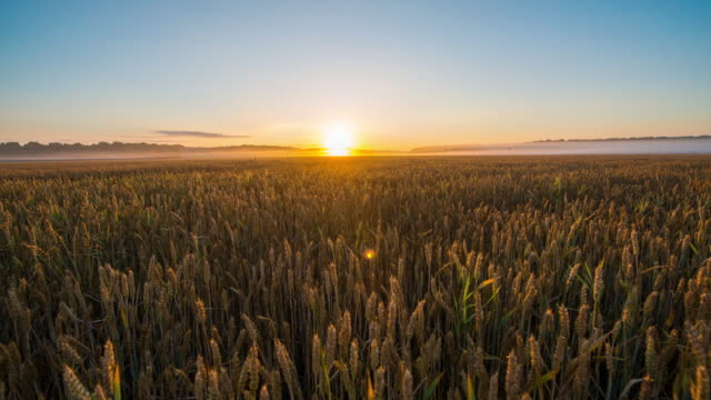 T/L Sunrise over field of wheat video
