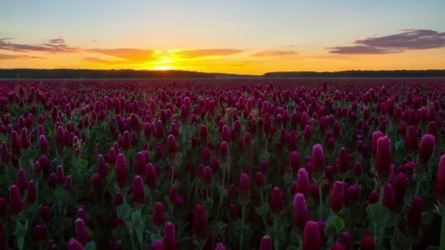 T/L Sunrise over the field of crimson clover video