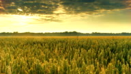 HD DOLLY: Sunrise Over Wheat Field video