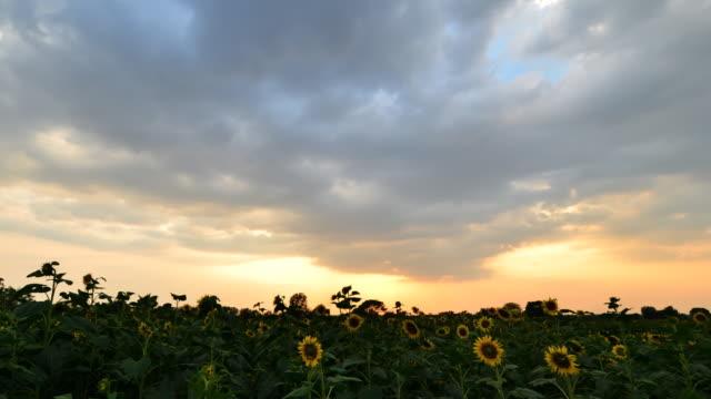 Sunset at sunflower field video