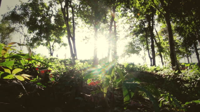 Sunset beams through trees in forest video