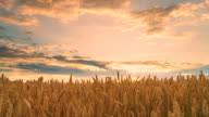 HD TIME LAPSE: Sunset Cloudscape Over The Wheat Field video