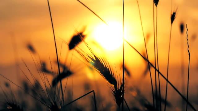 sunset grass slow motion video