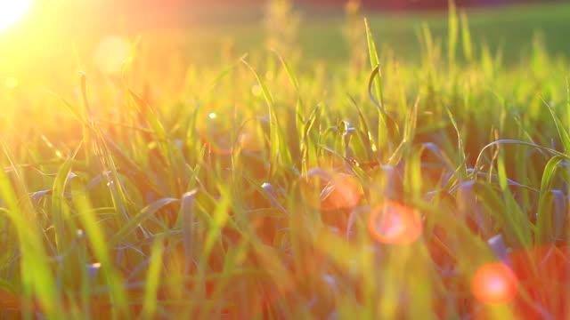 Sunset grass video