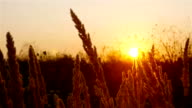 Sunset in a field with straw grass video