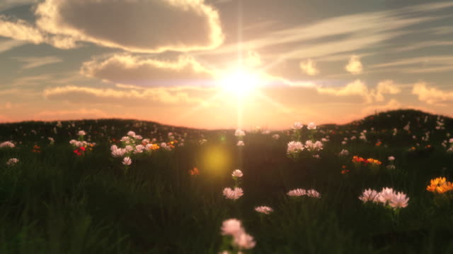 sunset in meadow with flowers video