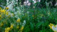 Sunset in the forest. Forest lawn is overgrown with wild flowers and grass. The sun's rays make their way through the birch. video