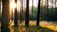 Sunset in the forest video