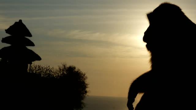Sunset Monkey Slow Motion 4k video
