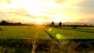 Sunset on green paddy field video