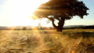Sunset Over A Corn Field video