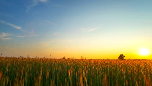 Sunset over a field of rye, panoramic time-lapse video
