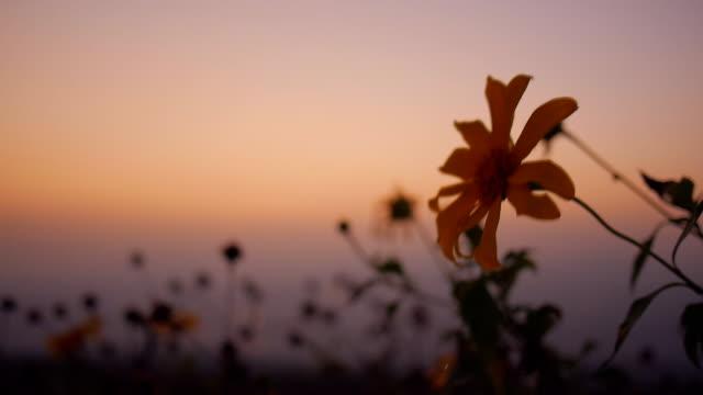 Sunset over Tithonia diversifolia video