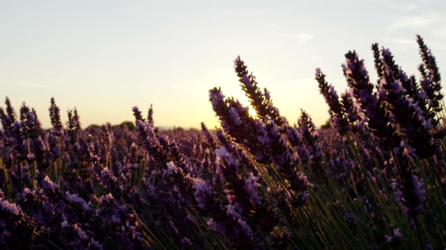 CLOSE UP: Sunset sun shining through purple lavender flowers in summer evening video