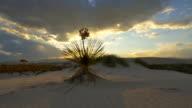 Sunset sun shining through soaptree leaves in white sand desert video