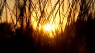 HD Sunset through the grass video