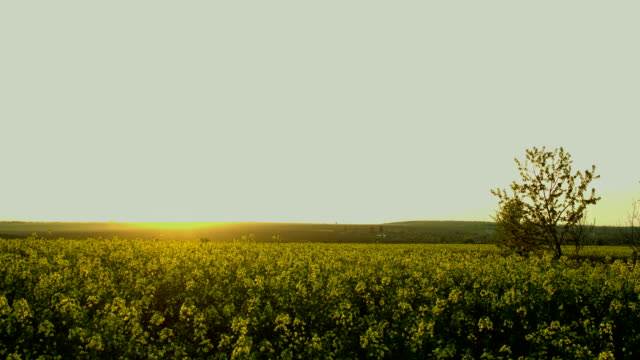 Sunset time lapse over rape field in countryside, HDR RAW shots video