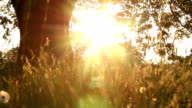 Sunset under a shady old oak tree video