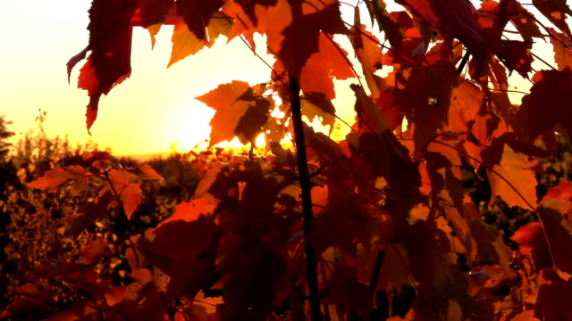 CLOSE UP: Sunshine shining through maple tree canopy covered in turning leaves video
