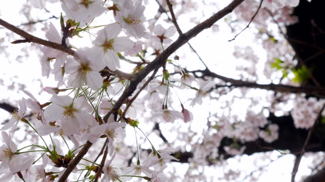 Sunshine through Cherry Blossom video