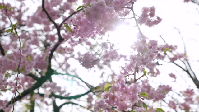 DS:Sunshine through cherry blossoms video
