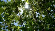 Sunshine through leaves, spring video