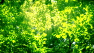 Sunshine through the trees. HD 1080. video