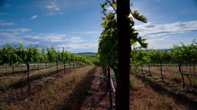 Sunshine Vineyard video