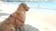 Super cute golden retriever dog standing on the beach looking at the sea video