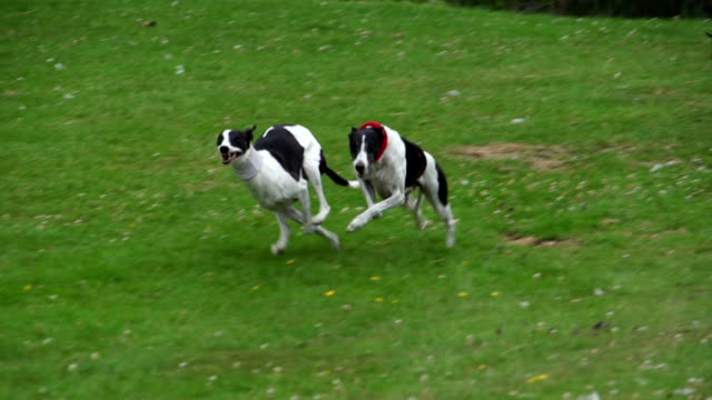 Super Slow Motion HD - Dogs racing eachother video