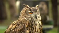 Super Slow Motion HD - Owl staring straight at camera video