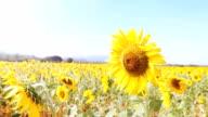 Super Slow Motion HD:Field of sunflowers waving in wind in Thailand. video