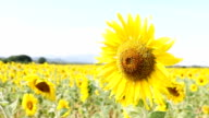 Super Slow Motion HD:Sunflowers a sunny day video