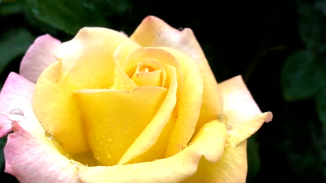 Super slow motion of beautiful pink-yellow rose in rain close up video